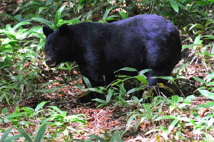 At Risk: Saving Japan's Bears as Forest Habitat Fragments ...